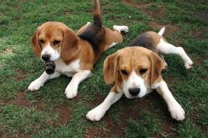 A RadioBau, Parla Angela, l'affidataria di una Beagle di Green Hill (la collina degli Orrori)