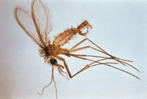 Phlebotomus leishmaniosi