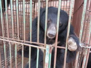 Morti altri13 Orsi della Luna ad Halong Bay