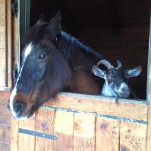 Un cavallo ed una capra: Amici per la pelle