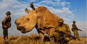 L'ultimo rinoceronte Bianco