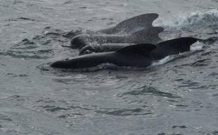 Ancora insaguinato il mare delle Isole Faroe
