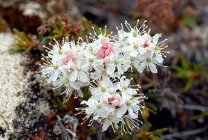 Ledum palustre decumbens(corrected)