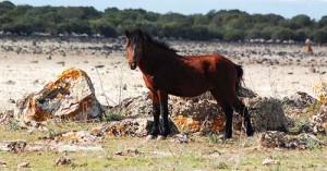 I Cavallini della Giara hanno sete!