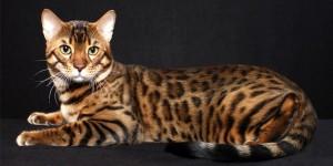 Il-gatto-Bengala