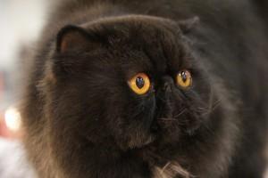 01 premi halloween e gatto nero contro le superstizioni al supercatshow gatto_6 L