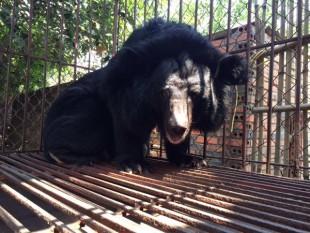 Animals Asia avvia le operazioni per liberare 8 orsi da 7 fattorie della bile in Vietnam