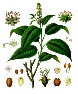 Croton_tiglium_-_Köhler–s_Medizinal-Pflanzen-197