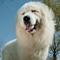 Fripon il cane attore di Belle e Sebastien, arriva a Milano
