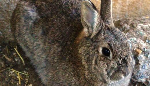 Il Signor Coniglio!