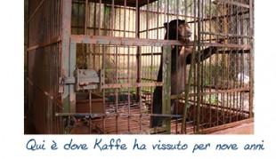 Salvato da Animal Asia, l'orso Kaffe