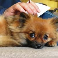Adaptil e DogBuddy: insieme contro la paura dei botti nei cani