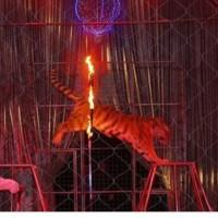 tigre in cerchio fuoco