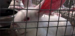 Progetto di relazione sulle norme minime per la protezione dei conigli d'allevamento