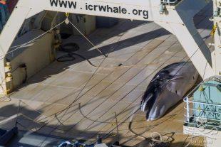 Sea Shepherd sorprende la flotta baleniera giapponese nel Santuario Australiano