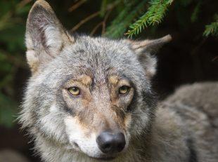 Piano lupi non è all'ordine del giorno della conferenza Stato-Regioni