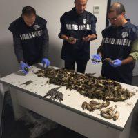 BLOCCATI 10 CACCIATORI ITALIANI ALL'AEROPORTO DI ORIO AL SERIO CON 1.200 UCCELLI PROTETTI