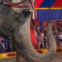 8 Novembre 2017 approvata la legge che prevede il divieto di utilizzo di animali negli show circensi o in spettacoli itineranti.