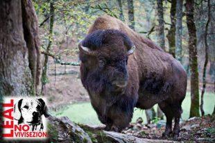 ARTURO il bisonte ha trovato il suo habitat