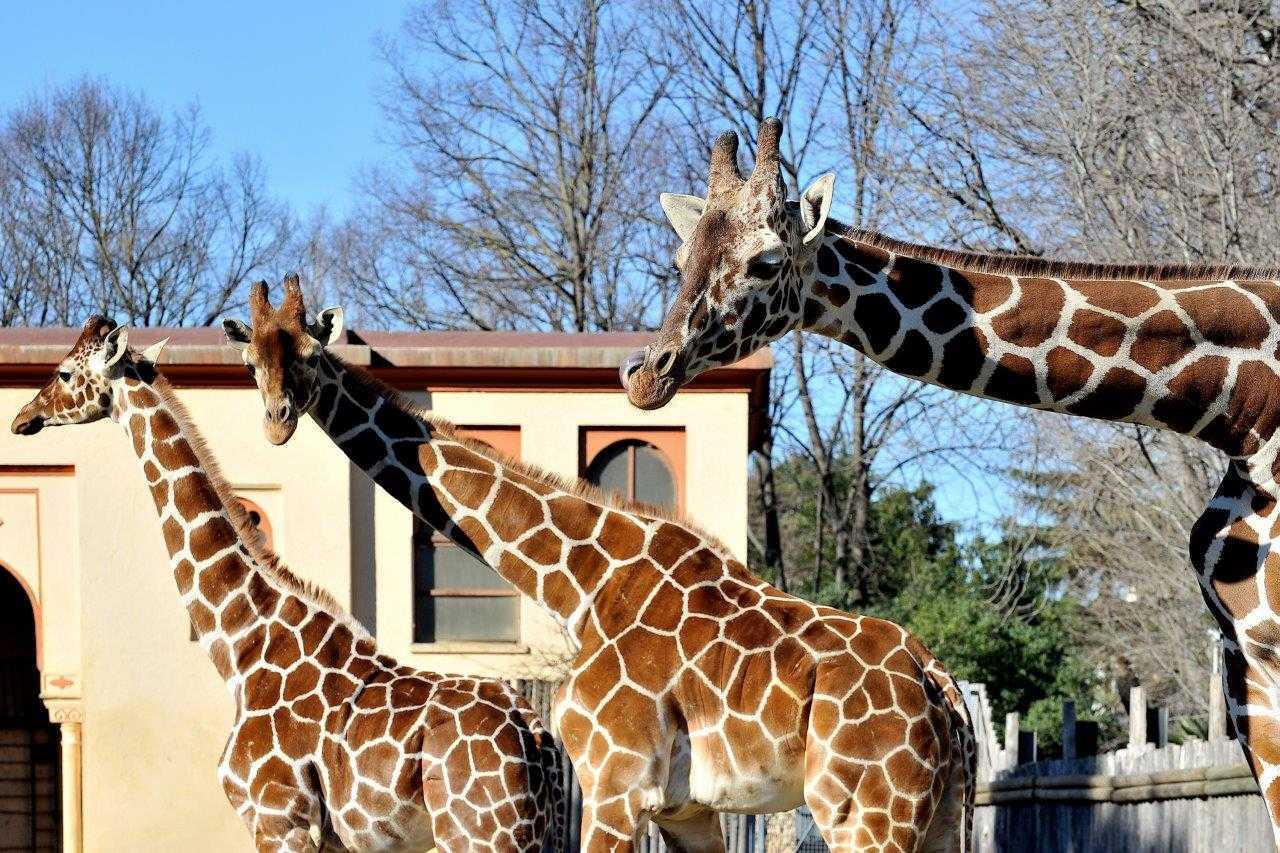 Giornata Mondiale della Giraffa