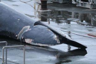 Sea Shepherd denuncia la caccia commerciale alla balenottera in Islanda