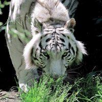 Domenica 29 luglio Giornata della tigre al Bioparco