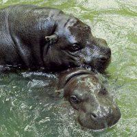 Arriva Nerone; Bioparco di Roma piscine e ghiaccioli per gli animali