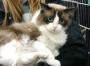 I gatti più belli del mondo in Fiera a Padova