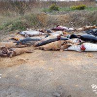Macabra Scoperta dei Volontari di Sea Shepherd