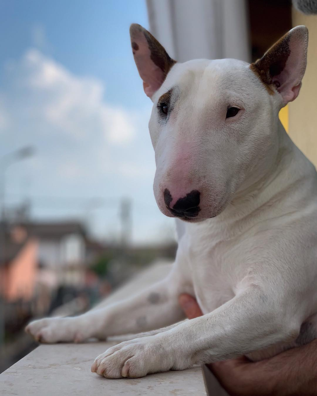 SPARKY   il Mini Bull Terrier dalla Grande Personalita'