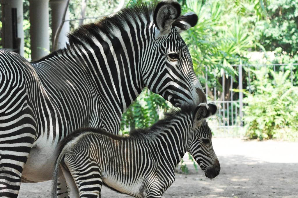 Al Bioparco è nata una ZEBRA REALE, la specie più minacciata fra le zebre