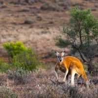 Kangaroo, A Love-Hate Story