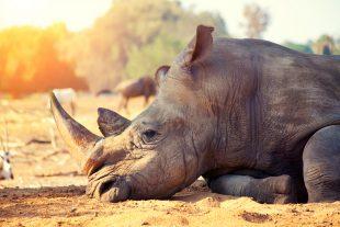 GLI ULTIMI RINOCERONTI: l'impegno contro il bracconaggio alla Fondazione Bioparco di Roma