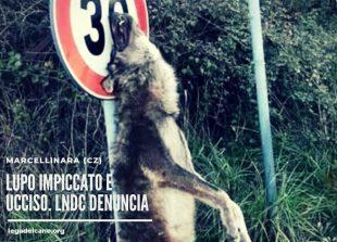 LUPO UCCISO E IMPICCATO. LNDC DENUNCIA