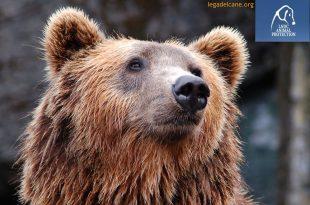 Catturato M49, LNDC Animal Protection chiede l'immediato rilascio