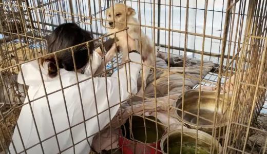 Corea del Sud, salvati oltre 100 cani da allevamento illegale