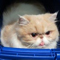 Variante Inglese Covid riscontrata su un gatto
