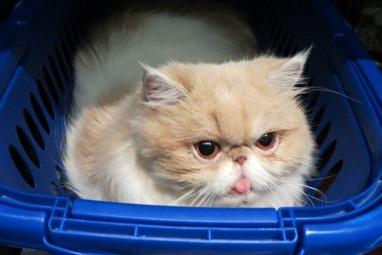 Variante Inglese Covid riscontrata su un gatto!
