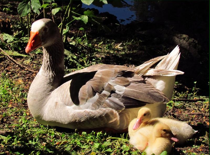 Nuova Aggressione agli Animali della Villa Reale di Monza, da parte di un Cane Slegato