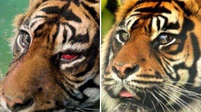 Primo intervento nella storia quello della tigre Ratna