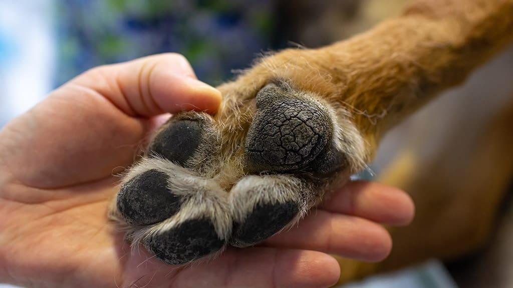 Il tuo cane si è ferito una zampa? Prova col rosmarino