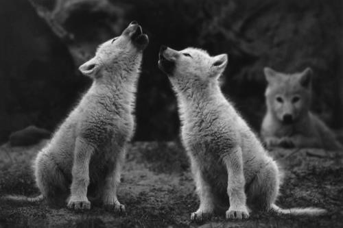 Una telecamera nascosta ha ripreso i primi ululati del piccolo lupo