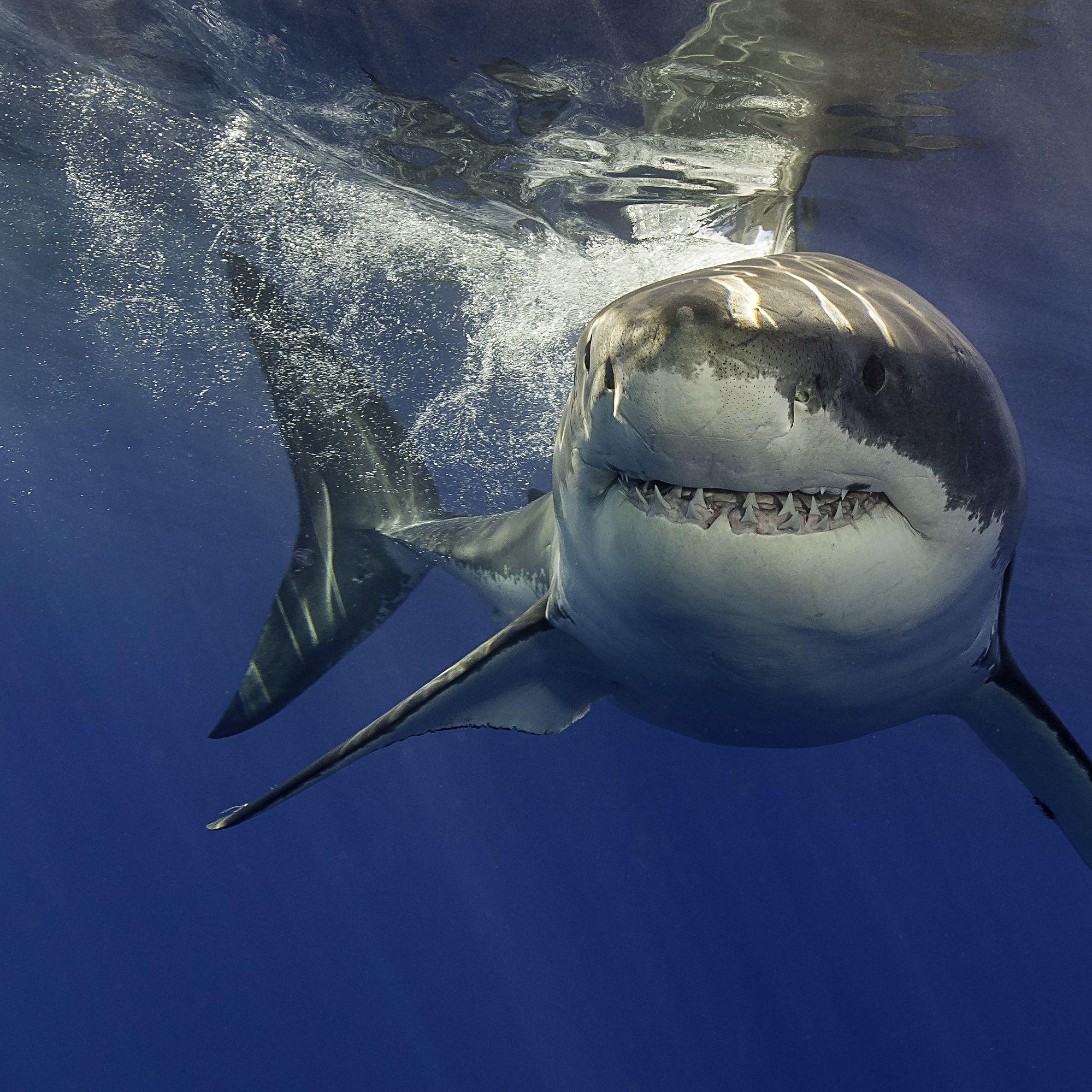 USA al via il bando allo spinnamento degli squali