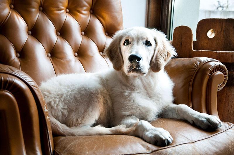 Perché i cani amano tanto il divano