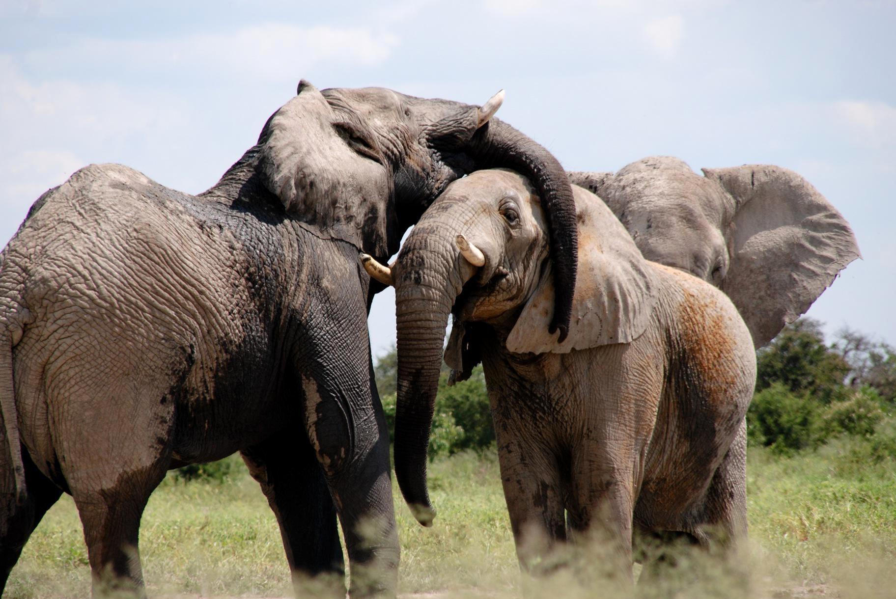 Gli Elefanti in viaggio da un anno dalla Cina