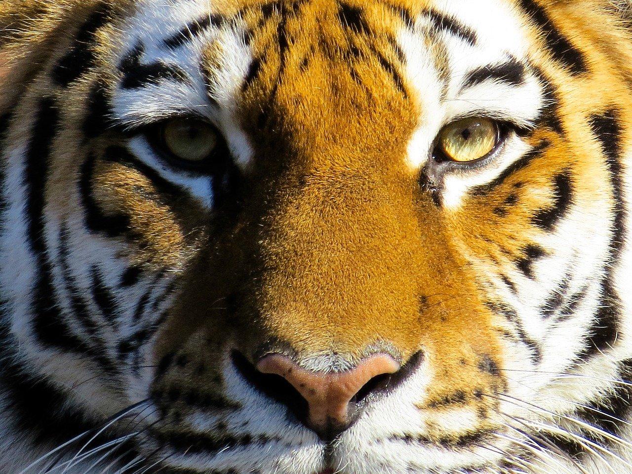Il 29 luglio è la giornata Mondiale della Tigre