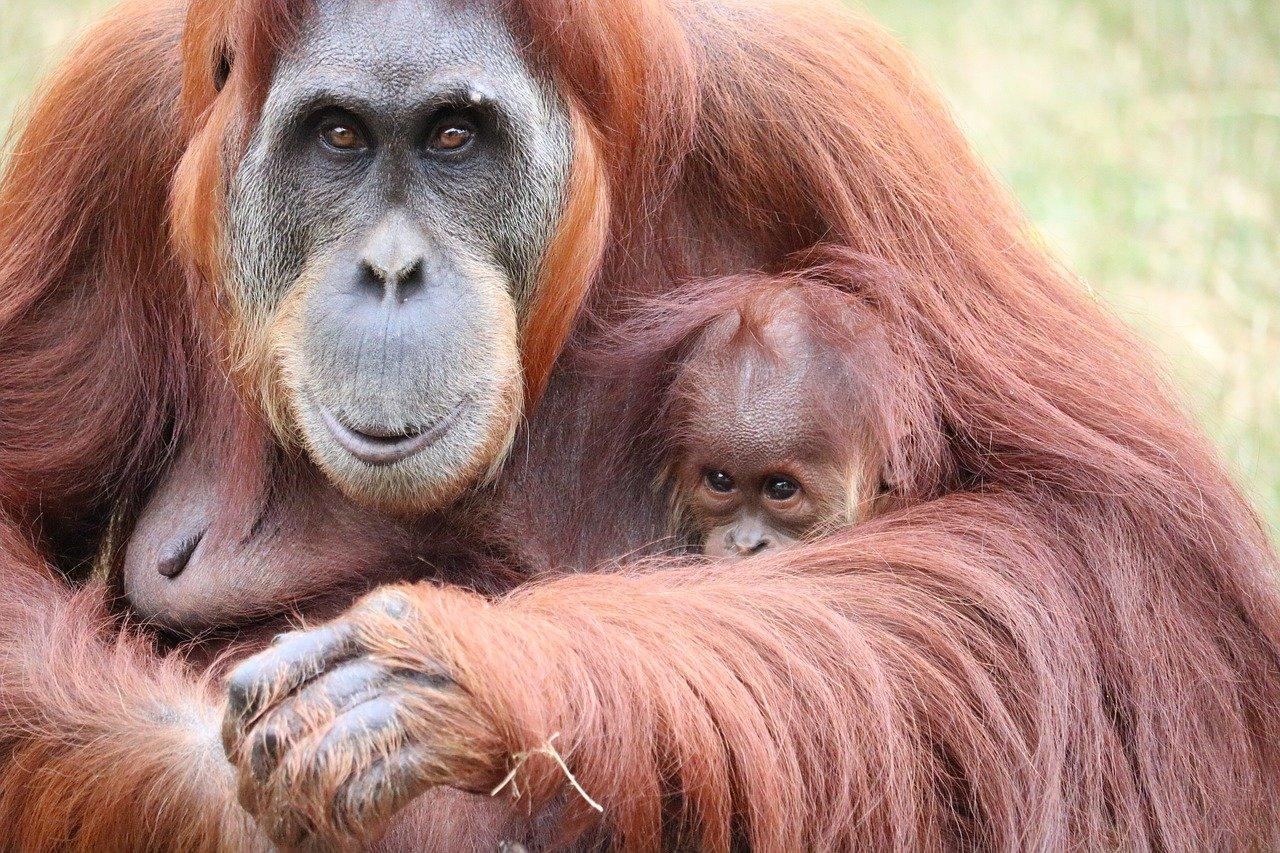 19 agosto: Giornata mondiale dell'orango